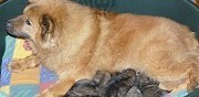 Vends bébé eurasier à tremblay en france