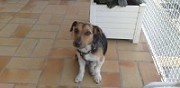 Donne jack russell terrier � marseille