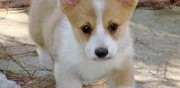 Donne welsh corgi pembroke roubaix