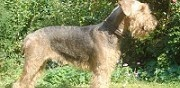 Vends chiots airedale terrier cergy pontoise