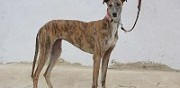 Perdu lvrier galgo espagnol robe bringe rennes