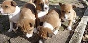 Vends chiots basenji p�rigueux