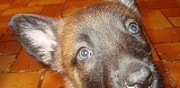 Vends chiots malinois lof troyes