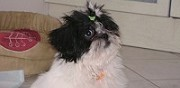 Vends chiot lhassa apso chambly