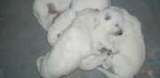 Vends chiots berger blanc suisses bey
