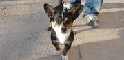 Don crois� welsh corgi 1 an