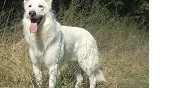 Berger blanc suisse disponible pour saillie vence