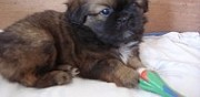 Vends chiots pagneuls tibtains lille