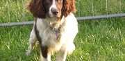 Mâle english springer spaniel disponible pour saillie