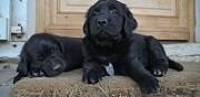 Vends chiot de m�re flat coated retriever