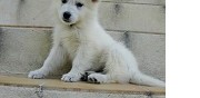 Vends chiot type berger blanc suisse