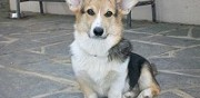 Vends m�le welsh corgi pembroke