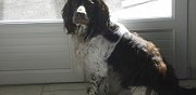 English springer spaniel pour saillie friville