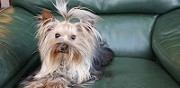 Vends yorkshire terrier cardroc