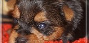 Vends chiot yorkshire terrier lof neuilly en thelle