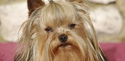 Vends yorkshire terrier lof mini confirm� 1 an noce