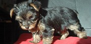 Vends yorkshire terrier lof martigues