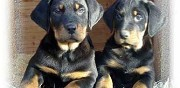Chiots beauceron pure race lof barras