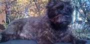 Cairn terrier male pour saillie freyming
