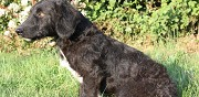 Chienne crois�e basset � adopter rennes