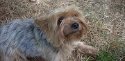 Vends chien yorkshire terrier nice