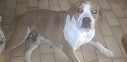 Vends chienne bouledogue anglais epagneul bourges