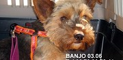 Chienne yorkshire � adopter rennes