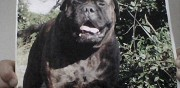 Perdu chien type bull mastiff marron toulon