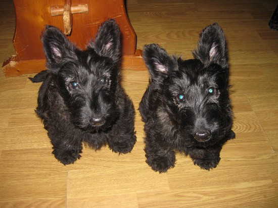 chiots lof scottish terrier vendre argentan orne 61 sur animaux fr. Black Bedroom Furniture Sets. Home Design Ideas
