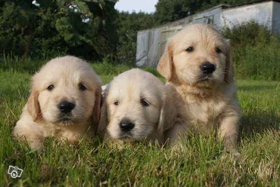 vends chiots males golden retriever guiclan finist re 29 sur animaux fr. Black Bedroom Furniture Sets. Home Design Ideas
