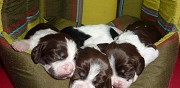 Chiots english springer spaniel lof � vendre ligueil