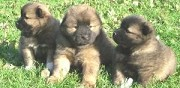 Vends chiots eurasier cany