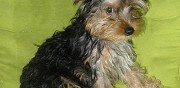 Vends chiots type yorkshire terrier tarbes