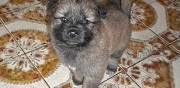 Vends chiots type eurasier saint genest d'ambiere