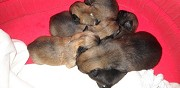 Chiots type pagneul tibtain  vendre chusclan