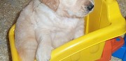 Chiots golden retriever lof inguiniel