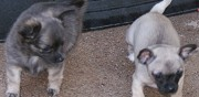 Vends chiots poils court chihuahua rehainviller