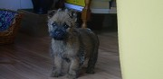 Chiot cairn terrier � vendre nimes