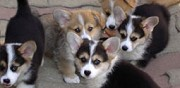 Vends chiots welsh corgi lof paris