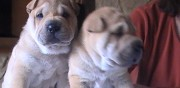 Vends chiot type shar pei avord