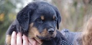 Vends chiot rottweiler lof troyes