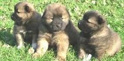 Chiots eurasier à vendre cany