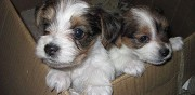 Chiots type yorkshire terrier a donner basseux