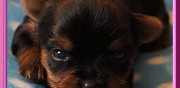 Chiot yorkshire terrier lof � vendre neuilly en thelle
