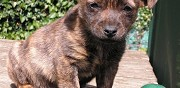 Vends chiot femelle croise st maurice de beynost