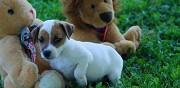 Chiots type jack russell terrier à vendre strasbourg