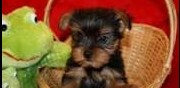 Vends chiots type yorkshire la gacilly