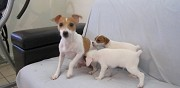 Donne chiots type jack russell non lof nice