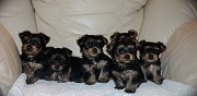 Adorable chiots type yorkshire terrier � vendre saint germain de joux