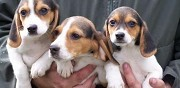 Superbes chiots type beagles lof saint maclou la briere